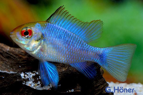 """1 Paar Schmetterlingsbuntbarsch """"Electric Blue"""" (2 Tiere) - Mikrogeophagus ramirezi"""