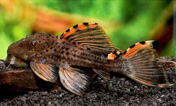 L 91 Orangeflossen Rüsselzahnwels - Leporacanthicus triactis
