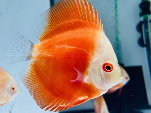 Red Scarlet 7-8 cm