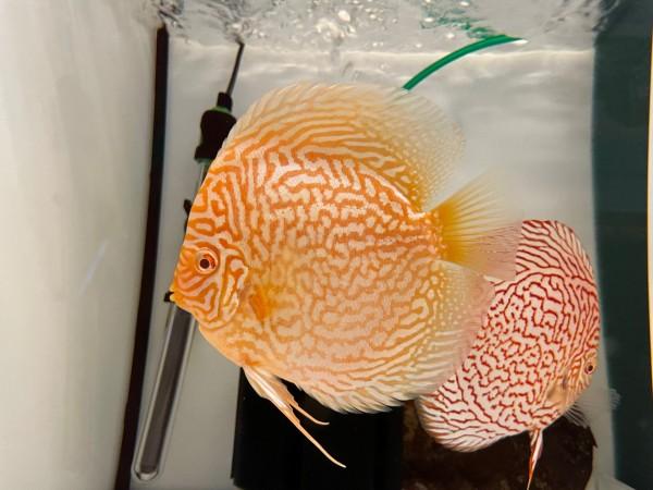 Asiatische Hochzucht Albino Red Türkis 14 cm