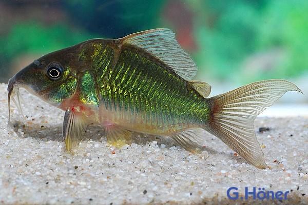 Brochis splendens - Smaragd Panzerwels