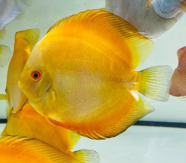 Solide Golden 15 cm