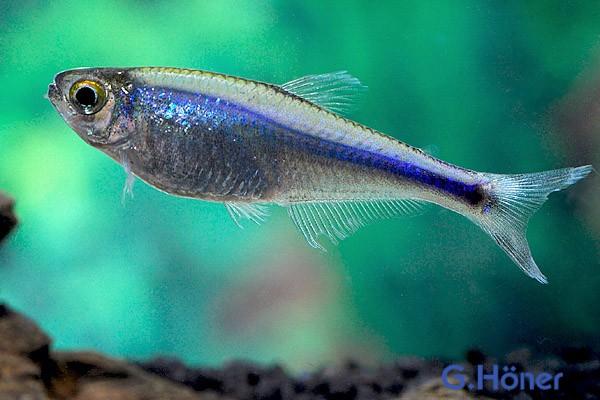 Blauer Perusalmler - Knodus bork