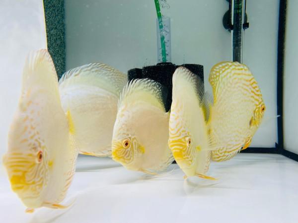 Albino White Butterfly Rarität 13-14 cm