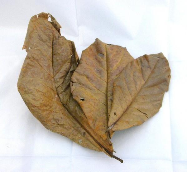 10 Seemandelbaumblätter