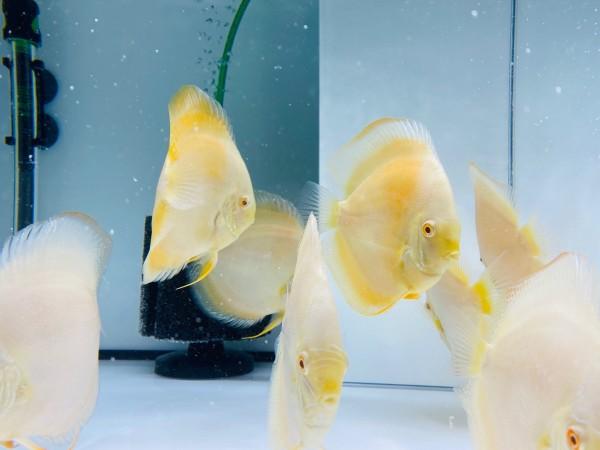Albino Millennium Gold Rarität 13 - 14 cm