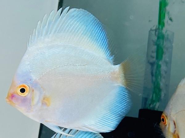 Platinum Blue Angel 8-9 cm Rarität