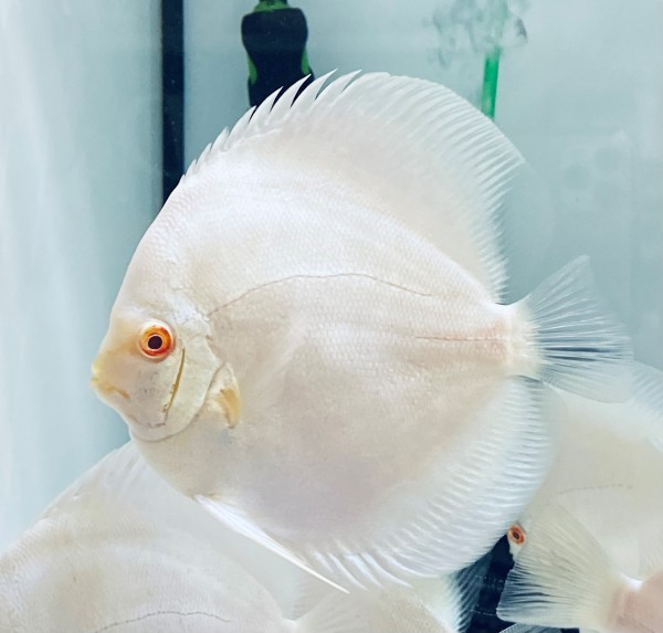 Albino Platinum 14 - 15 cm