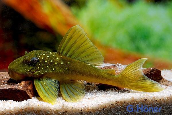 L 200 Low Fin Gelbgrüner Phantomwels - Hemiancistrus subviridis 6-7 cm