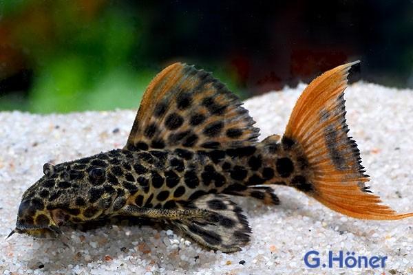 L 114 Leopard Kaktuswels - Pseudacanthicus cf. leopardus