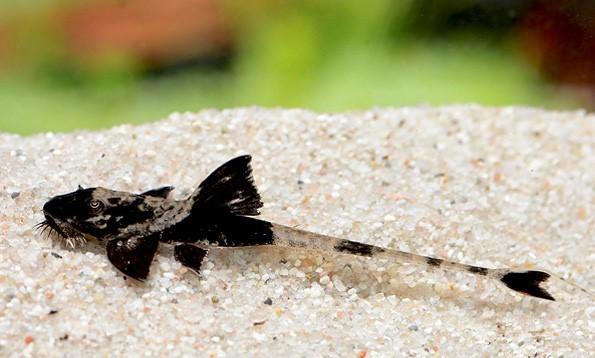 Schwarzweißer Hexenwels - Loricaria simillima 5-8 cm