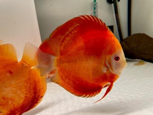 Asiatische Hochzucht Red Golden Diamond Best Grade 15 cm