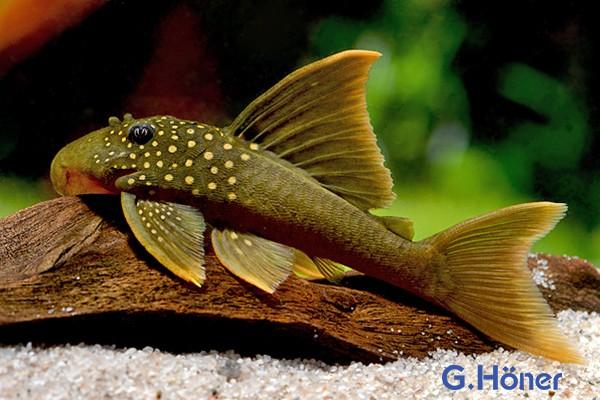 L 200 High Fin Goldgrüner Hochflossen Phantomwels - Hemiancistrus subviridis