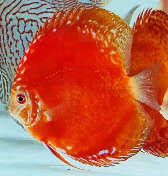 Red Rafflesia