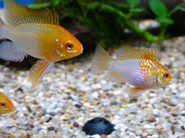 "1 Paar Schmetterlingsbuntbarsch ""Gold"" - Mikrogeophagus ramirezi"