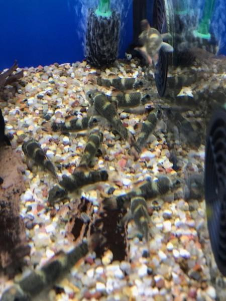 Prachtalgenfresser - Garra flavatra Ausgewachsene Tiere