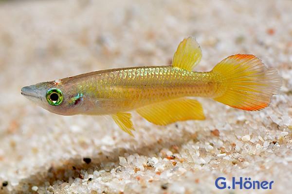 "Streifenhechtling ""Goldform"" - Aplocheilus lineatus ""gold"""