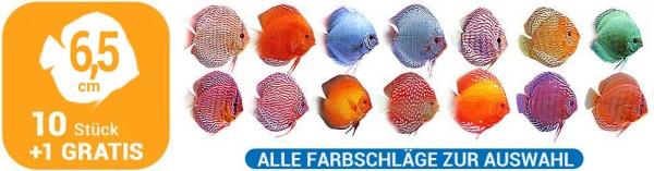 10 + 1 Gratis Diskusfische 6,5 cm alle Farbschläge