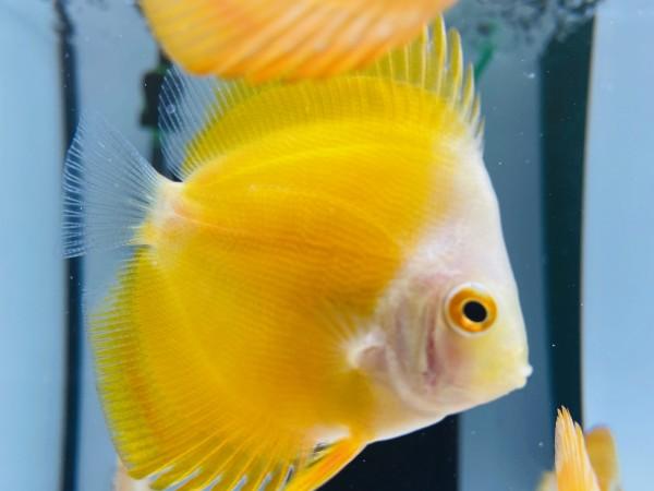 Yellow Lemon 7-8 cm