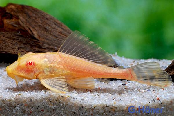 Wabenschilderwels Albino - Glyptoperichthys gibbiceps 6-7cm
