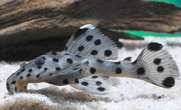 L 264 Weißspitzen-Rüsselzahnwels - Leporacanthicus joselimai 4-7 cm