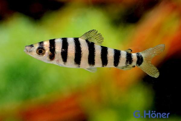 Grüner Leporinus - Leporinus fasciatus 8-10 cm