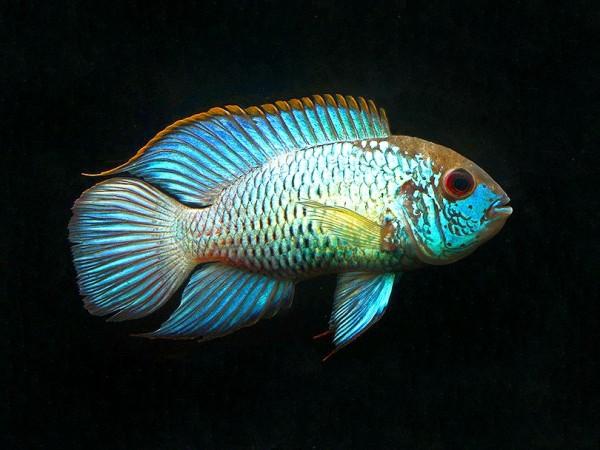 "Blaupunktbuntbarsch - Andinoacara pulcher ""Neon Blue"" 4-6 cm"